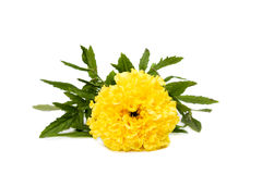 Marigold with foliage Royalty Free Stock Photography