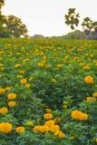 Marigold garden. Morning in marigold garden in Thailand Royalty Free Stock Image