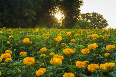 Marigold garden Royalty Free Stock Images