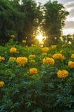 Marigold garden. Morning in marigold garden in Thailand Royalty Free Stock Photography