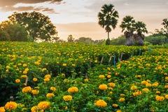 Marigold garden. Morning in marigold garden in Thailand Stock Photo