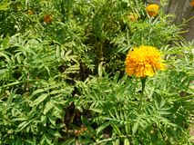 Marigold. The marigold in garden Stock Image
