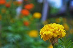 The marigold in the garden royalty free stock photography