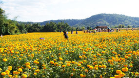 Marigold garden. Beautiful Marigold garden in Thailand Royalty Free Stock Photography