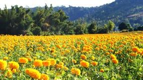 Marigold garden Stock Image