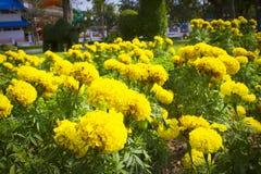 Marigold garden royalty free stock image