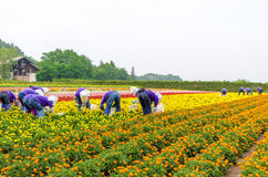 Marigold garden in harvest time Royalty Free Stock Photography
