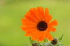 Marigold on green background Royalty Free Stock Photo