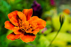 Marigold. And green in the garden stock image
