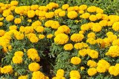 Marigold growing in the garden. Stock Photo