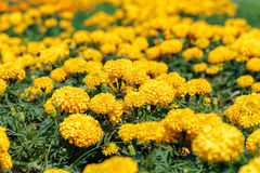 Marigold growing in the garden. Stock Images