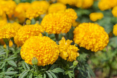 Marigold growing in the garden. Royalty Free Stock Photography