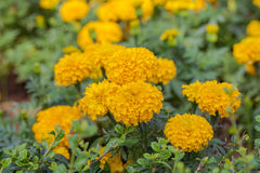 Marigold growing in the garden. Royalty Free Stock Images