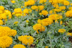 Marigold growing in the garden. Royalty Free Stock Photos
