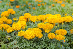 Marigold growing in the garden. Royalty Free Stock Image