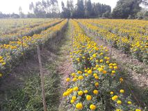 Marigold growing to bring flowers to the market. Agricultural plots for growing marigolds Royalty Free Stock Photo