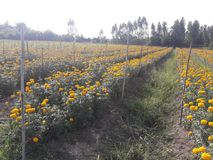 Marigold growing to bring flowers to the market. Agricultural plots for growing marigolds Stock Images