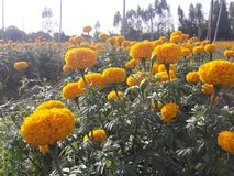 Marigold growing to bring flowers to the market. Agricultural plots for growing marigolds Stock Photo