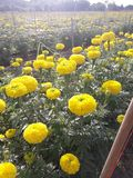 Marigold growing to bring flowers to the market. Agricultural plots for growing marigolds Stock Image