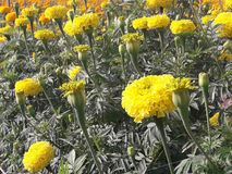 Marigold growing to bring flowers to the market. Agricultural plots for growing marigolds Royalty Free Stock Photos