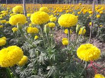 Marigold growing to bring flowers to the market. Agricultural plots for growing marigolds Stock Photos