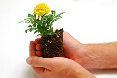 Marigold in Hand Stock Photos