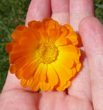 Marigold - Health from nature Stock Image