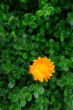 Marigold isolated on a background of green leaves Royalty Free Stock Images