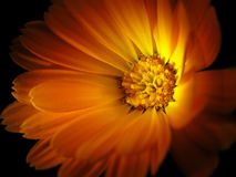 Marigold isolated on black Royalty Free Stock Photography