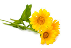 Marigold isolated Stock Images