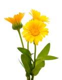Marigold isolated Royalty Free Stock Image