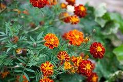 Marigold stock photography