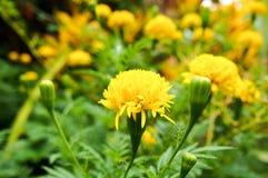 Marigold. Marigolg in garden stock photo