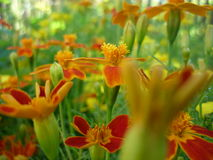 Marigold. Melkotsvetkovye marigolds. It looks great in mixborders. indispensable in horticulture Stock Photos