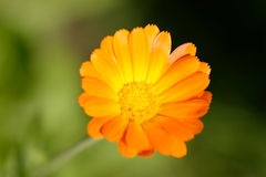 Marigold or more commonly Calendula Royalty Free Stock Photo