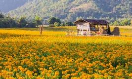 marigold morning. Royalty Free Stock Photography