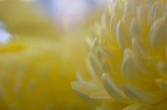 Marigold na luz macia Fotografia de Stock