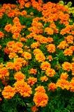 Marigold orange. Marigold; orange; blossom; garden; spring; flowering royalty free stock photo