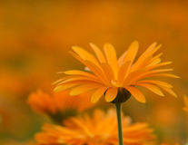 Marigold Royalty Free Stock Image