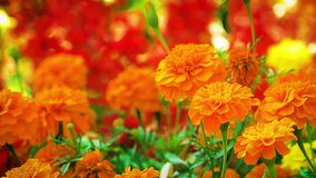Marigold orange flower stock footage