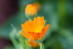 Marigold orange flower. In the gardern with green background bokeh Royalty Free Stock Photography