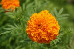 Marigold. The orange flower of the Tagetes erecta or Marigold blooming in a garden in Da Nang, Vietnam royalty free stock photo