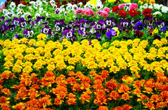Marigold orange & yellow. Marigold; orange; yellow; blossom; garden; spring; flowering Royalty Free Stock Photography