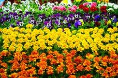 Marigold orange & yellow. Marigold; orange; yellow; blossom; garden; spring; flowering royalty free stock photography