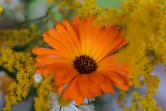 A marigold with other blooms royalty free stock photo
