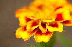 Marigold petals Stock Images