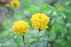 Marigold on plant in farm Stock Images