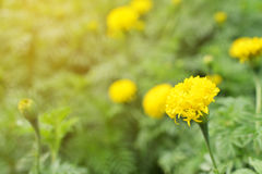 Marigold on plant in farm Royalty Free Stock Photo