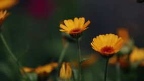 Marigold in the rain, light breeze close up, dynamic scene, toned video. Beautiful yellow orange flowers with water drops in the garden. Marigold in the rain stock video footage