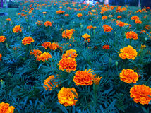 Marigold. They're brought to decorate for Father's Day 2557,Thailand Royalty Free Stock Photos